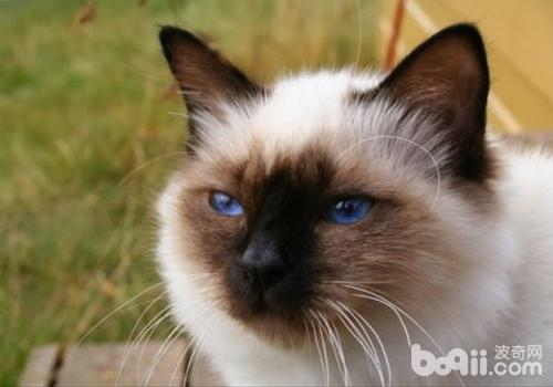 什么是耳血肿-猫咪常见病
